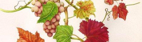 什么是葡萄种和品种